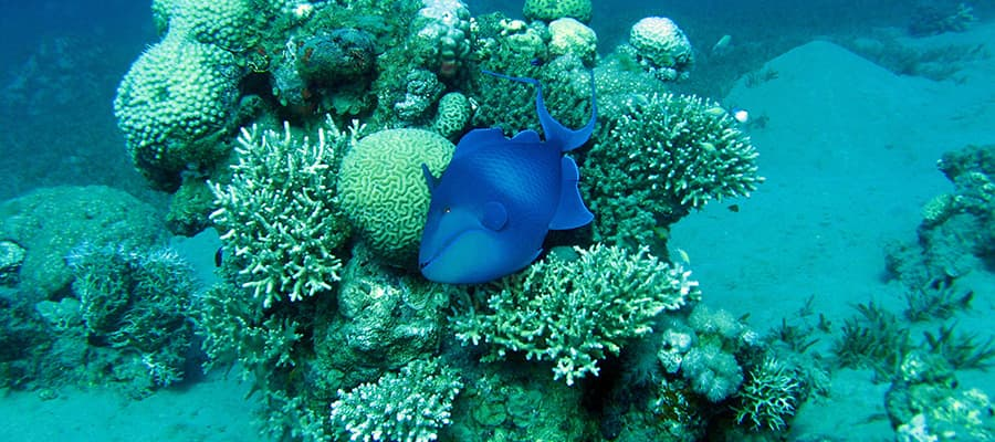 Redtooth triggerfish on coral reef on a Safaga Cruises
